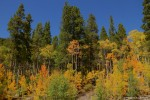 Aspen Trees Turning to Gold