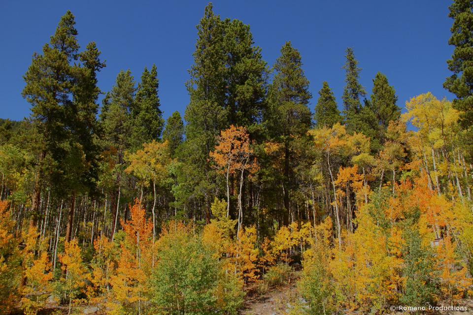 Aspen Trees Turning to Gold