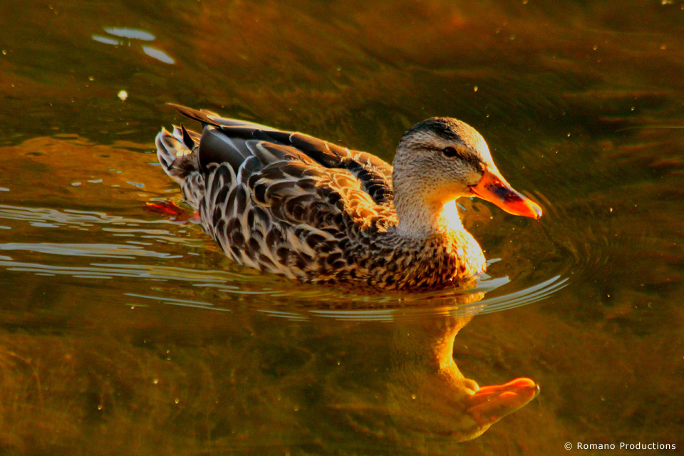 Friendly Duck