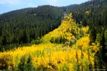 Nice patch of Aspens on Cottonwood Pass